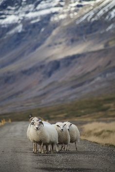 Sheep in the East Fjords, Iceland by Michael Farnell Photography on Flickr.