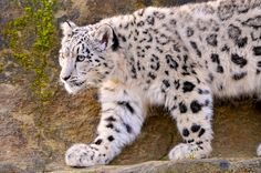 Snow leopards are my favorite big cats!