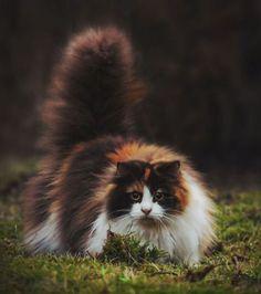 Foto : Um gato tricolor bem peludo