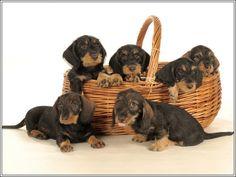 4 Dog Puppy Dachshund Doxie Weiner Dog puppies Basket Greeting Stationery Notecards/ Envelopes Set