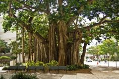 A large banyon tree in downtown Fort Myers (Photo by Fort Myers Daily Photo)