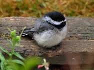 fluffy baby chickadees - Google Search