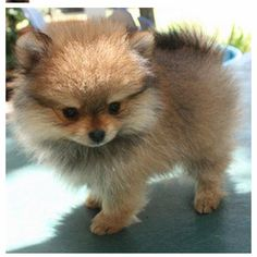 #pomeranian! this how sugar bear use to look!