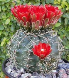 Cacti And Succulents, Planting Succulents, Planting Flowers, Cactus Planta, Cactus Y Suculentas, Exotic Flowers, Beautiful Flowers, Orquideas Cymbidium, Cactus Seeds