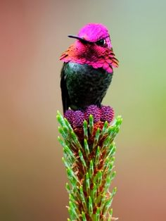 Male Anna Hummingbird.