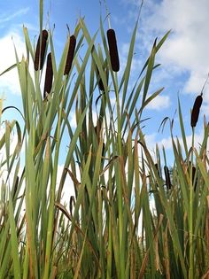 Edible Plants 101: Cattails Cattails grow wild out by the lakes...