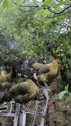 fromthegardenofedendale:Chickens in the rain…