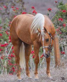 Palomino horse among the roses. Palomino horse among the roses. Horses And Dogs, Cute Horses, Horse Love, Wild Horses, Black Horses, Quarter Horses, American Quarter Horse, Most Beautiful Horses, All The Pretty Horses