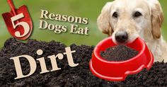 Dogs eat all kinds of weird things, from cat poop to loose change but dirt eating can be a sign that you need to take a closer look at their health.
