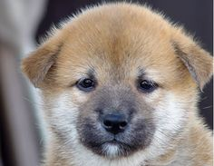 ~ SHIBA INU PUPPY.  EARS WILL STAND UP PERMANENTLY ~