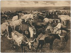 Historic Texas Longhorn Cattle 1909 Photogravure with cowboys by George Cornish. Longhorn Cattle, Cowboys And Indians, Real Cowboys, Into The West, Cowboy And Cowgirl, Cowboy Art, Texas History, Texas Longhorns, Le Far West