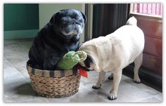 Two cute PUGS with toys.