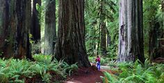 the redwood forests of california - Google Search  500 Places