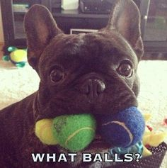 What Balls funny cute animals adorable dog puppies playful funny animals funny pets french bulldog