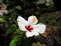 10 plantas con flores blancas para la época de fiestas: Hibiscos