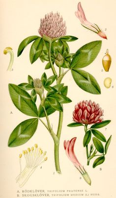 084cac775e57 The Herb Red Clover - purify blood and help with osteoporosis. It s so  beautiful, worth framing!