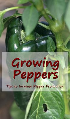 Growing Peppers - Tips to Increase Pepper Production. #gardening #garden #growing #peppers