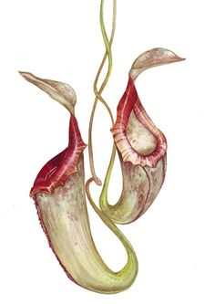Pitcher plant drawing - photo#5