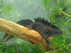 A male great crested newt in the pond