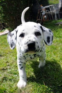 The cutest dalmation