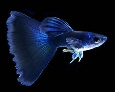 Types of guppies - there are several types of guppy fish that you can make as a pet. In addition to the beautiful color, guppy fish care is not too difficul Tropical Freshwater Fish, Tropical Fish Tanks, Freshwater Aquarium Fish, Tropical Aquarium, Pretty Fish, Cool Fish, Beautiful Fish, Guppy, Aquascaping