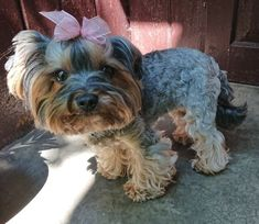 Yorky, Yorkshire Terrier, Places To Visit, Pets, Photograph, Animals, Yorkshire Terriers, Photography, Animales