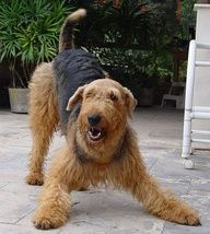 Airedale Terrier - Love our Airedale - Jaz! One of his favorite positions.