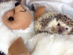 Cute Hedgehogs : Photo