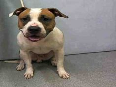 ♡ MY LIFE MATTERS ♡ BUGSY – A1059822 MALE, WHITE / BROWN, PIT BULL MIX, 3 yrs STRAY – STRAY WAIT, NO HOLD Reason STRAY Intake condition EXAM REQ Intake Date12/07/2015, From NY 11218, DueOut Date12/10/2015,