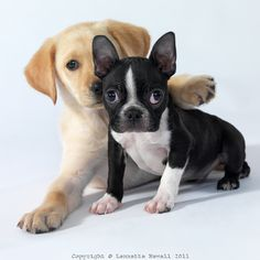 Yellow Lab and Boston Terrier Puppies