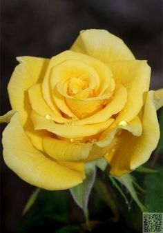 2. #Yellow Roses - 7 Rose #Colors and Their #Meanings: the Language of #Flowers ... → #Gardening #White