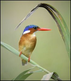 Malachite KIngfisher (Corythornis cristatus)