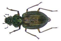Family: Hydraenidae Size: 2.6 to 3 mm Origin: Europe Ecology: in moss of the mountain streams Location: Germany, Upper Bavaria, Oberstdorf, 1000 m leg.det. U.Schmidt, 2005 Photo: U.Schmidt, 2007