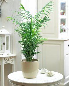Camedórea-elegante - Essa espécie de palmeira não passa de dois metros de altura e fica ótima com plantio em vasos. Como gosta de umidade, é preciso regar frequentemente, até 4 vezes por semana. Deve ser mantida longe da luz direta do sol. Ambientes à meia-sombra ou sem luz são preferíveis.