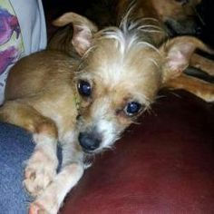 Sugarpie is an adoptable Chihuahua Dog in Alpharetta, GA. I am Sugar Pieand was part of the 20+ Chihuahua mixes living in the vanthat Angels Among Us was part of rescuing.Also my brother Spice wa...