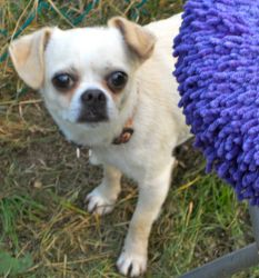 Marco is an adoptable Chihuahua Dog in Spring Lake, NJ. Marco is a beautiful Chug, part chihuahua part pug. He has the zippy twirling clown-act of a pug with his tongue clocked at 150 mph while kiss...