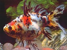 Calico Goldfish. This is what Eva picked out for our tank.