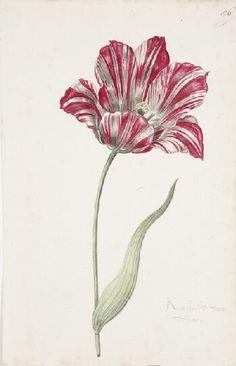 Great Tulip Book: Kamelot Van Wena,17th century    1600-1699  Gouache on paper  12-1/8 x 7-7/8 in. (30.8 x 20 cm)