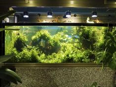 Unlike the natural habitats of most tropical fish species, where dangerous levels of nitrogen-containing compounds are rare, the freshwater home aquarium is a closed environment in which overcrowding and overfeeding are common. That makes your fish tank conducive to excess ammonia and nitrification in the water, which is the most common cause of sickness, disease, and even death in aquarium fishes. Home Aquarium, Aquarium Design, Aquarium Fish, Planted Betta Tank, Planted Aquarium, Fish Tank Design, Nitrogen Cycle, Aquarium Lighting, Aquatic Plants