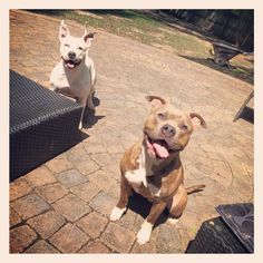 American pitbull terriers. Mother (white) Son (brindle) son is grandson of mugglestons magoo