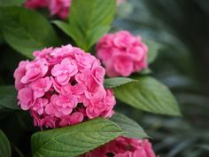 HOW CAN YOU GROW HYDRANGEA FLOWERS IN PINK COLOR