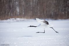 Red-Crowned Cranes, Hokkaido. Japan Winter photo tour