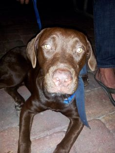 #FOUNDDOG 1-13-14 #TAMPA #FL FEMALE CHOCOLATE #LAB MIX YOUNG ADULT 25-30 LBS SCARRING ON MUZZLE AND EARS SOUTHEAST SEMINOLE HEIGHTS jhaverty2@verizon.net https://www.facebook.com/photo.php?fbid=10202011522662774&set=o.215779761801280&type=1