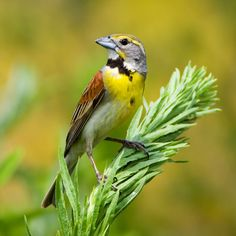 Dickcissel - The dickcissel is a small American seed-eating bird in the family Cardinalidae.