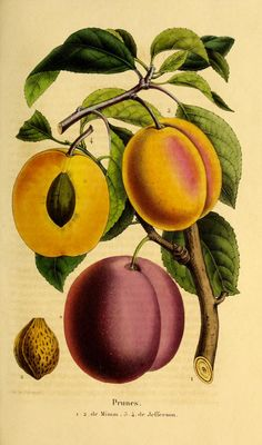 Belgique horticole. By Morren, Charles, 1807-1858  Morren, Edouard, 1833-1886 / Not in Copyright  (aka public domain)  - http://www.biodiversitylibrary.org/item/131452#page/475/mode/1up
