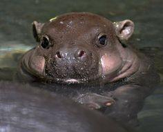 Mini hipopótamo muy bien alimentado!