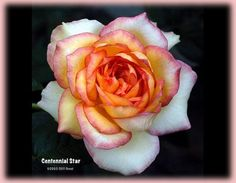 Centennial Star Rosa Hybrid Tea Selected for the centennial of Star Roses in This is a really pretty flower. Unique Roses, Beautiful Roses, Pretty Flowers, Rose Pictures, Rose Photos, The Rose Society, Rooting Roses, Sugar Paste Flowers, Peace Rose
