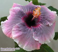 hibiscus Stormy Rainbow
