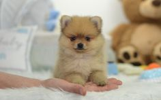 Available Puppies | pomeranian puppies for sale in usa