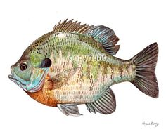 Beautiful Bluegill Drawing - Bluegill Sunfish Freshwater Fish Print By By Theberrypress Wisconsin Fish Drawings Flashcards By Aquaponics Fish Fish Giclee Print Blue Gill Sun . Watercolor Fish, Watercolor Paintings, Fish Paintings, Fish Drawings, Fish Print, Vintage Fishing, Freshwater Fish, Wildlife Art, Graphic Illustration